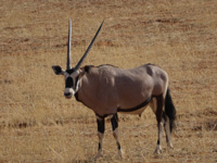 African oryx